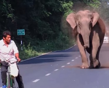 Elephant Chases The Cyclist