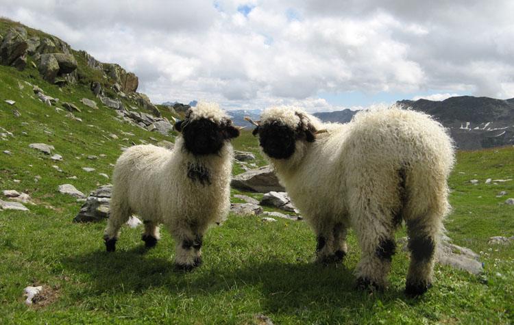 Valais-Blacknose-Sheep-Swiss-Breed-alpine-breed