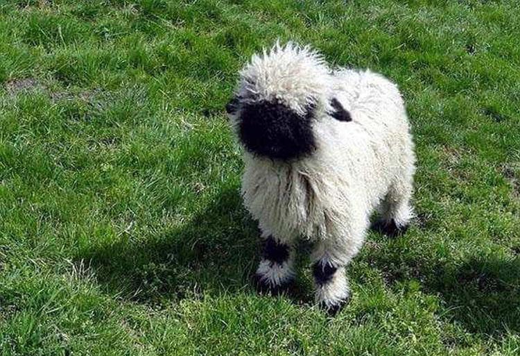 Valais-Blacknose-sheep