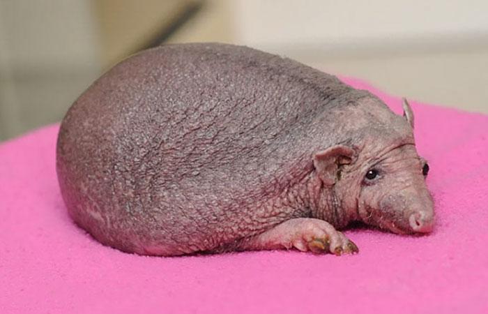 bold-spikeless-hedgehog-massages-nelson-6a