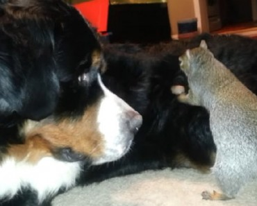 squirrel hides nut in dog fur