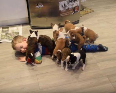 16 basenji puppies