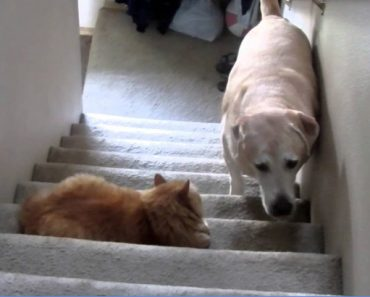 dog-scared-cat-stairs
