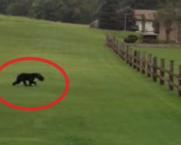 bear moving strangely