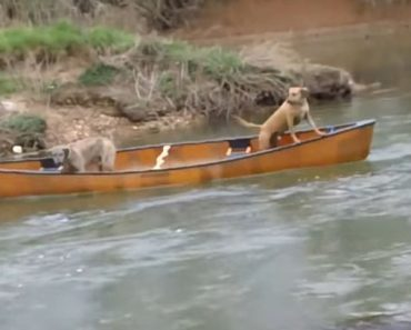 Labrador rescues two dogs trapped in canoe